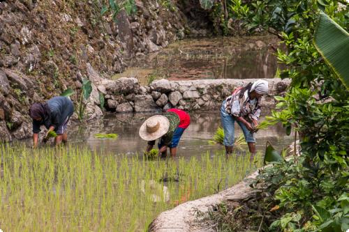 Fermiers cultivant le riz en zone rurale d'Asie