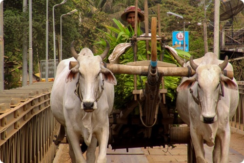 Man carrying forage with two cows in rural area in Cambodia
